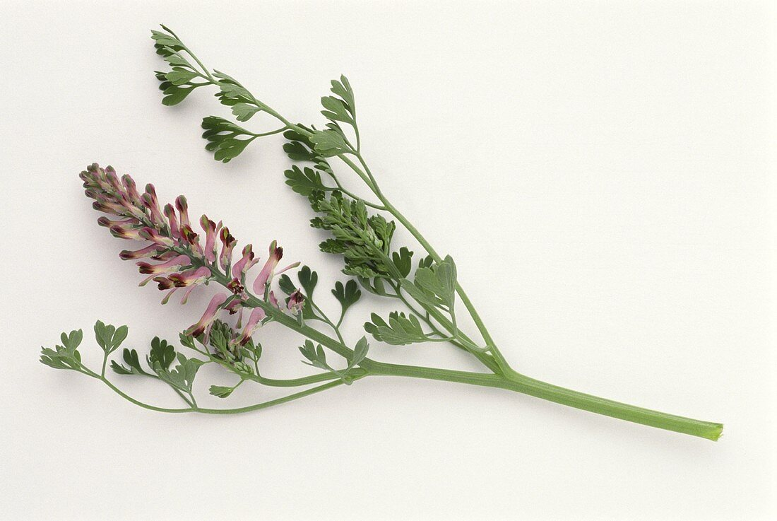 Flowering sprig of fumitory on white background