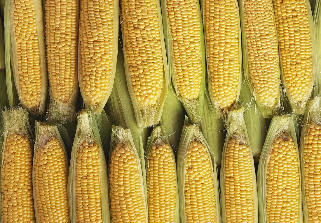 Many ripe corncobs (filling the picture)