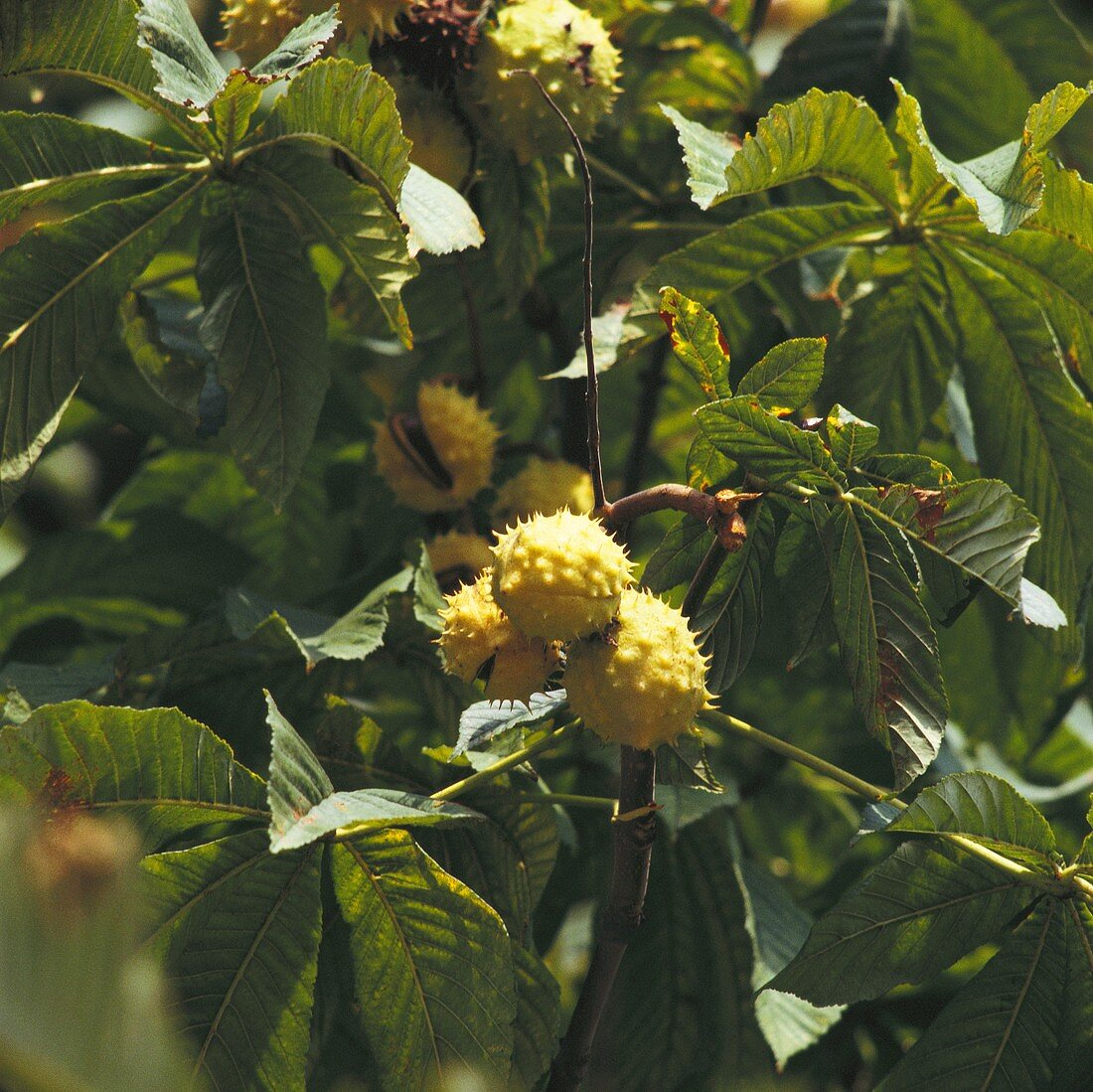 Rosskastanien am Baum (Ausschnitt)