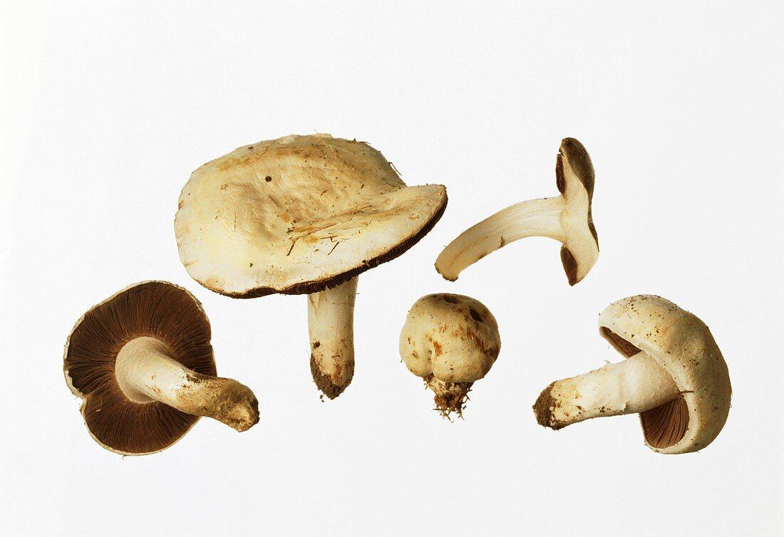 Horse mushrooms (Agaricus arvensis)