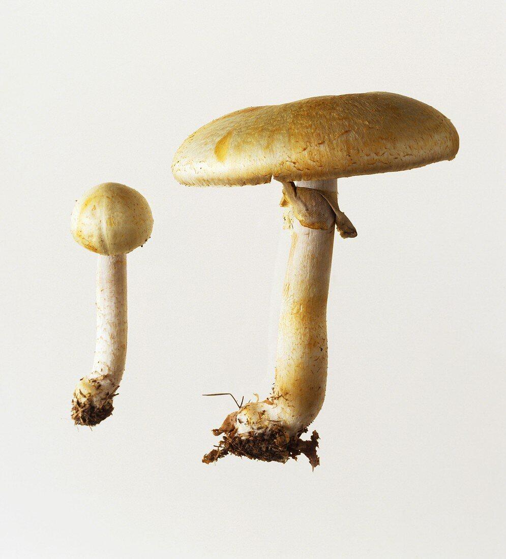 Two horse mushrooms (Agaricus arvensis)