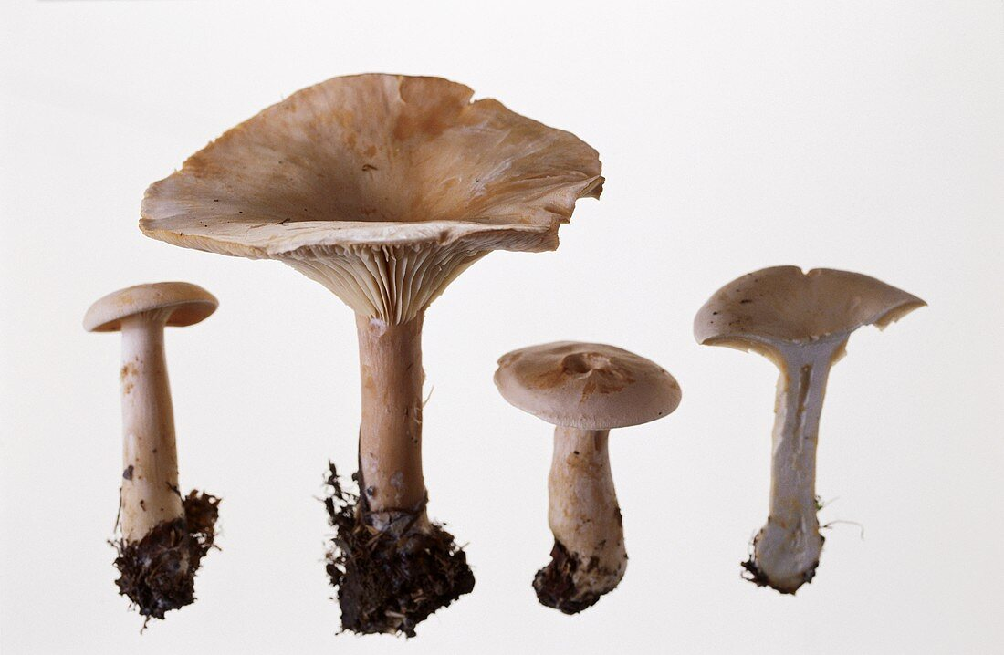 Four mushrooms (Clitocybe geotropa)