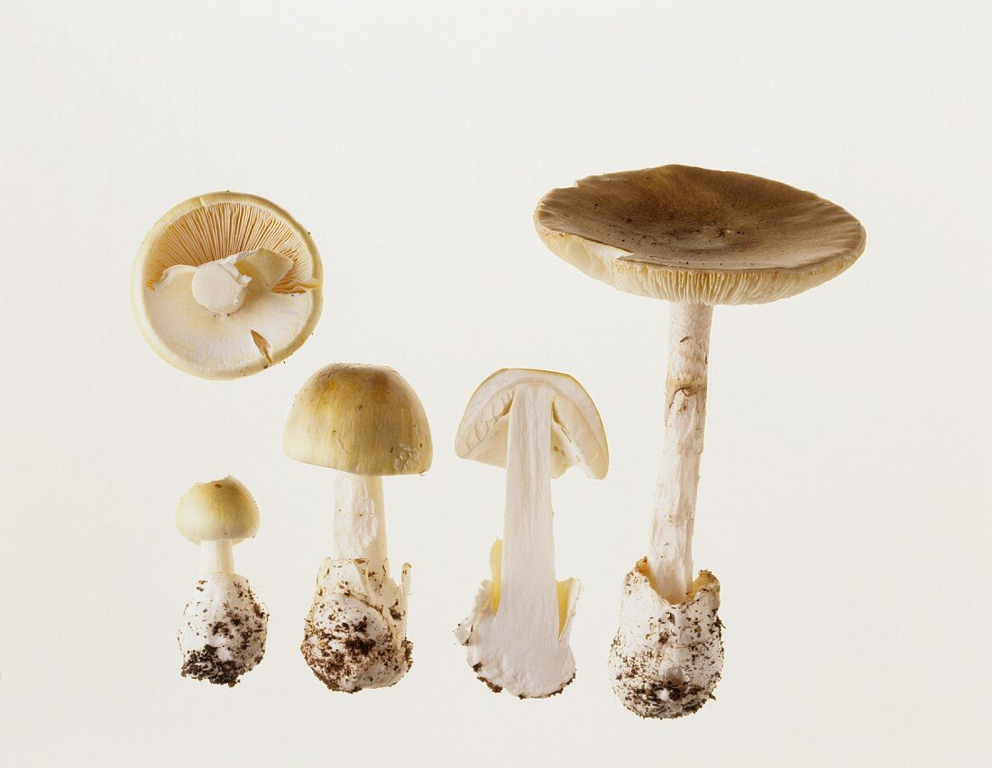 Various green death cap mushrooms