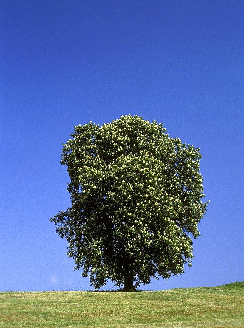 A flowering horse chestnut tree