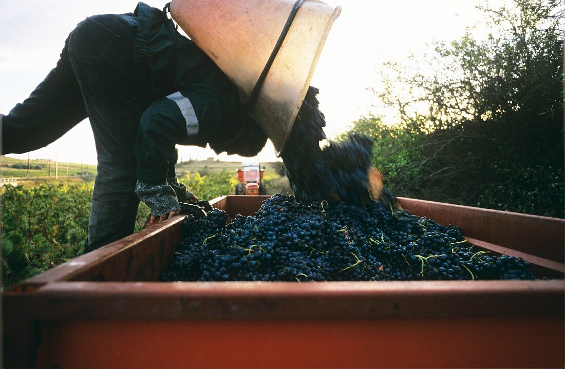 Tub carrier unloading red wine grapes, Moux, Corbieres