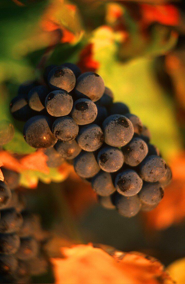 Pinot Noir grapes on the vine, Romanee Conti, Burgundy