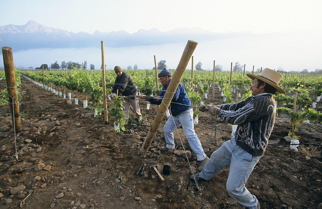 Holzpflöcke im Weinberg aufstellen, Aconcaqua Valley,Chile