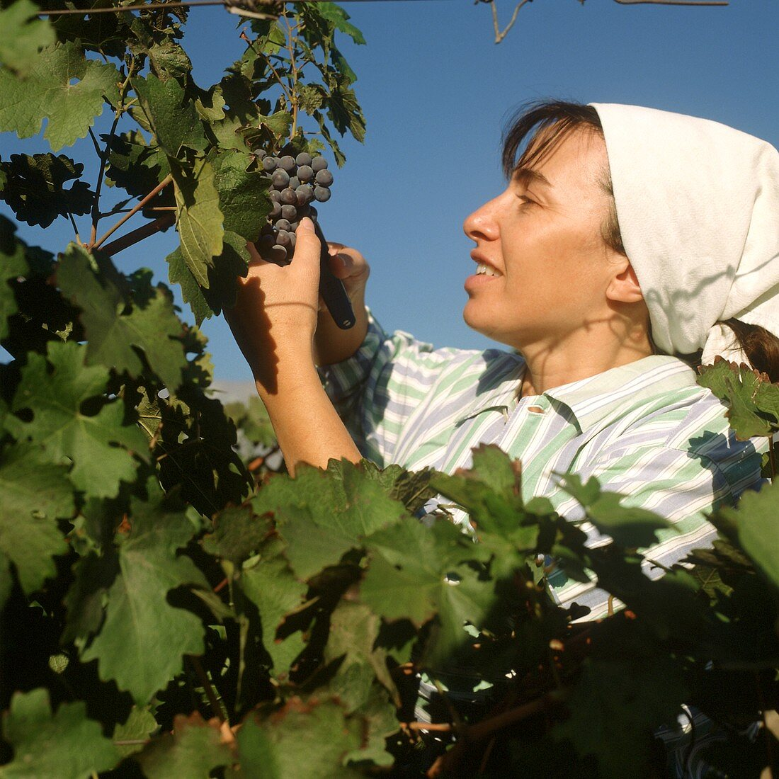 Vintage in the vineyards of Valle Central, Chile