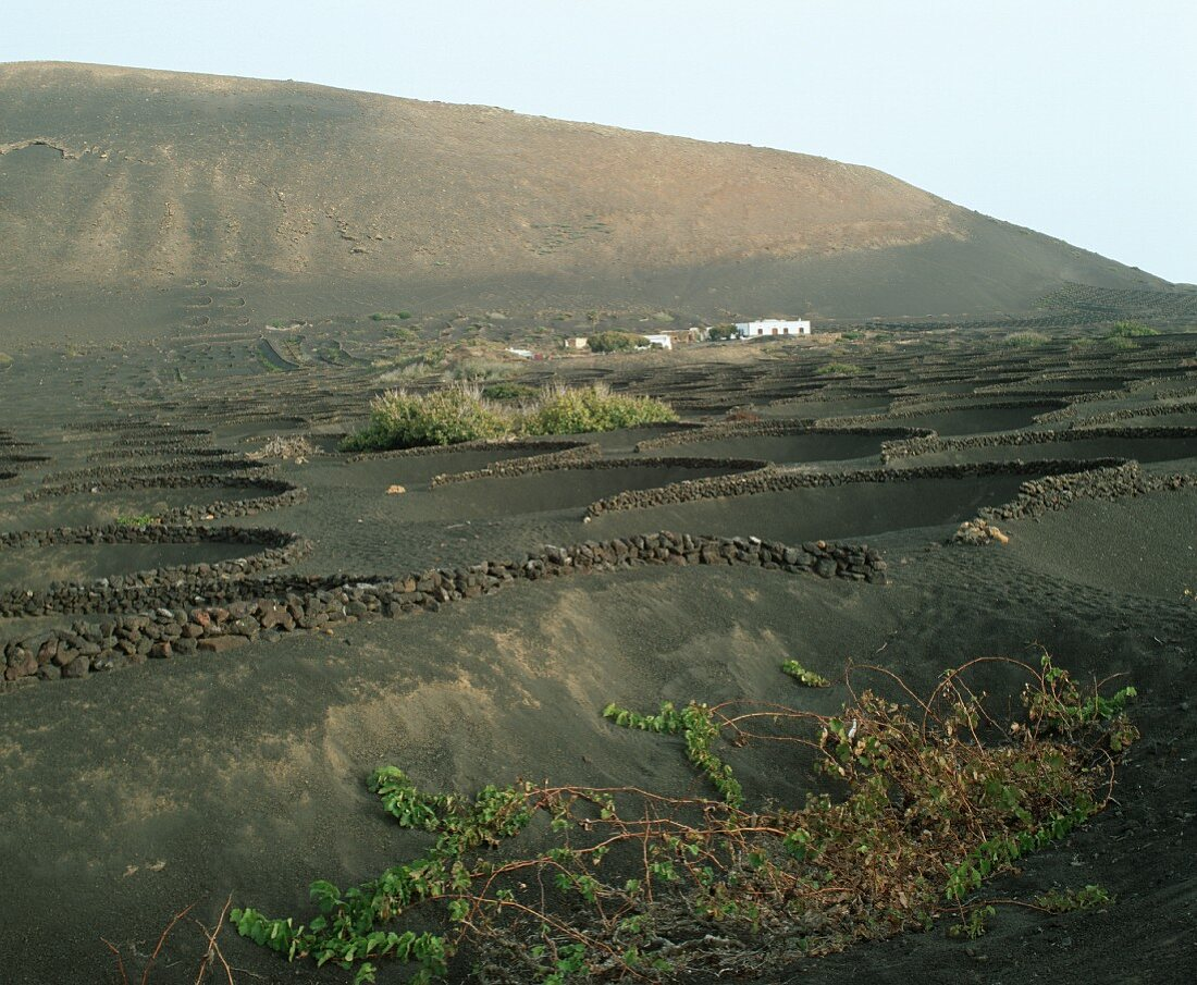 Stone walls protect the vines from wind, Lanzarote