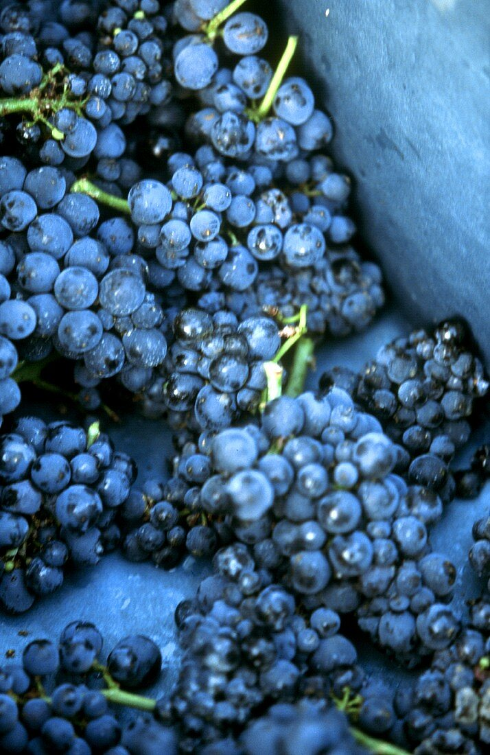 Freshly picked Pinot Noir grapes, Burgundy, France
