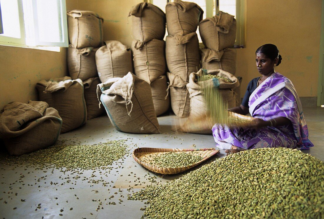 Indian woman cleaning cardamom capsules (Kerala State, India)