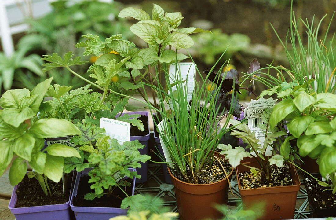 Various culinary herbs in flower pot