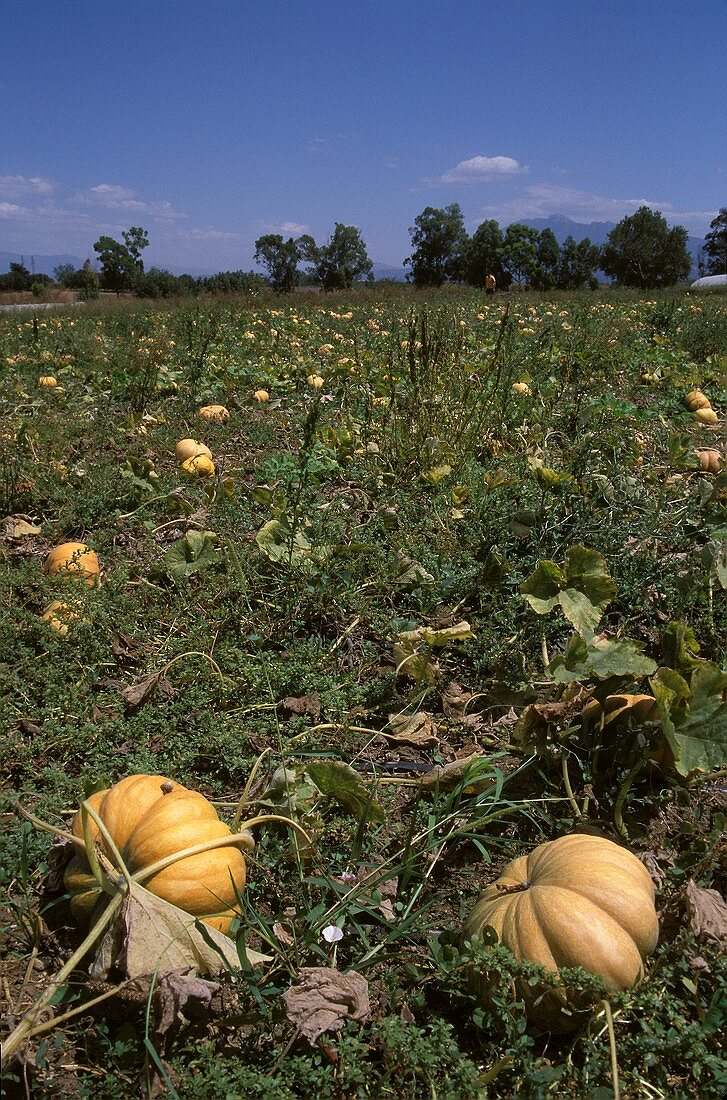 Yellow Japanese pumpkins in the field