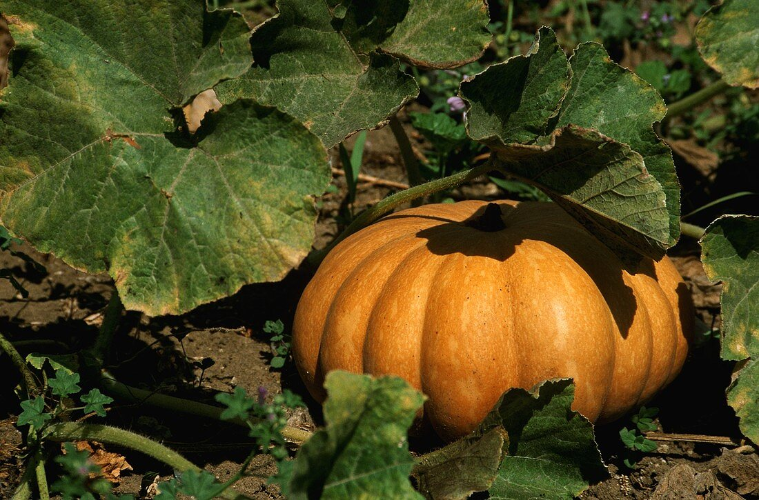 A yellow Japanese pumpkin in the field