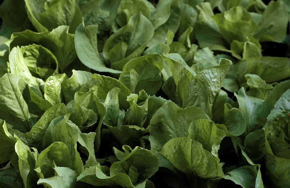 Lettuce plants (Romaine lettuce) in open air