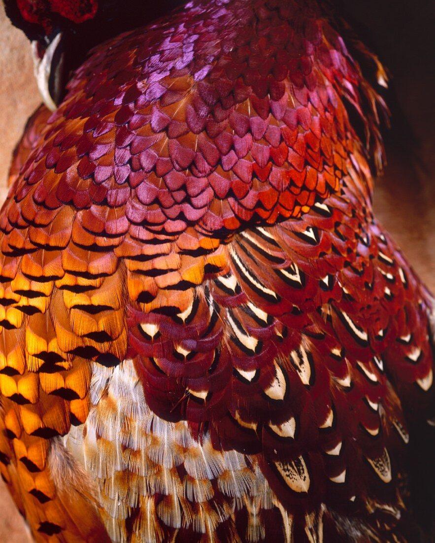 Ein Fasan mit bunten Federn