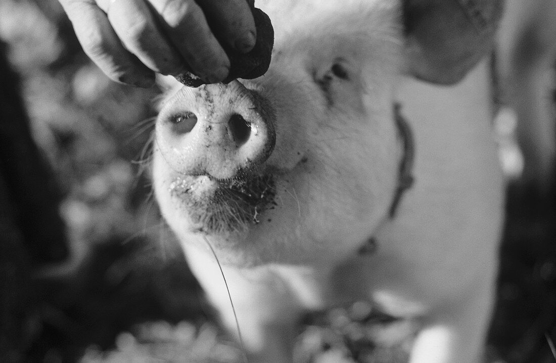 Truffle pig smelling a truffle (b/w photo)