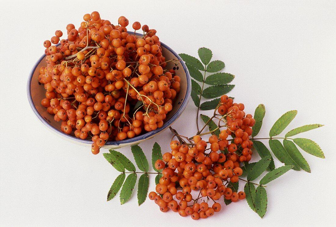 Rowan berries (Sorbus aucuparia)
