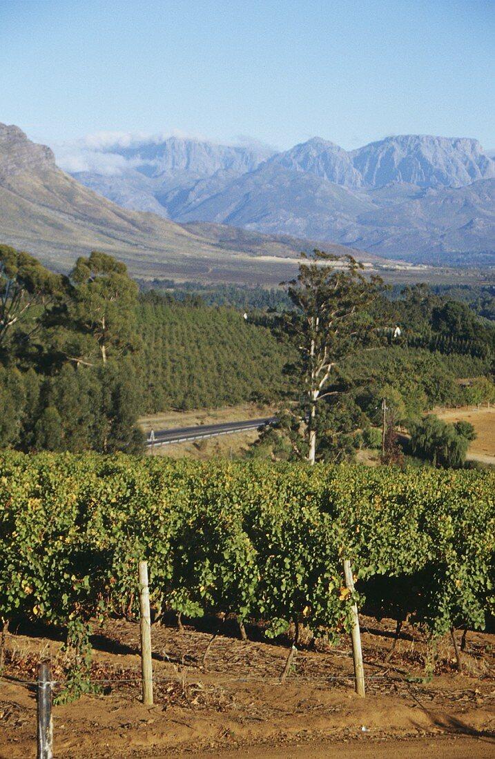 Vineyards at Franschhoek, mountains behind, S. Africa