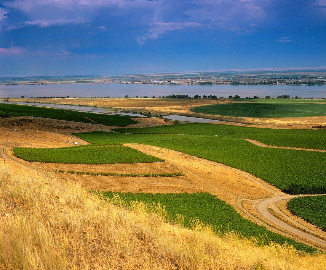 Vineyard in Columbia River district, Washington, America