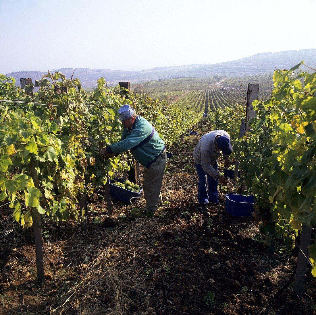 Grape picking in Tokaj, Hungary