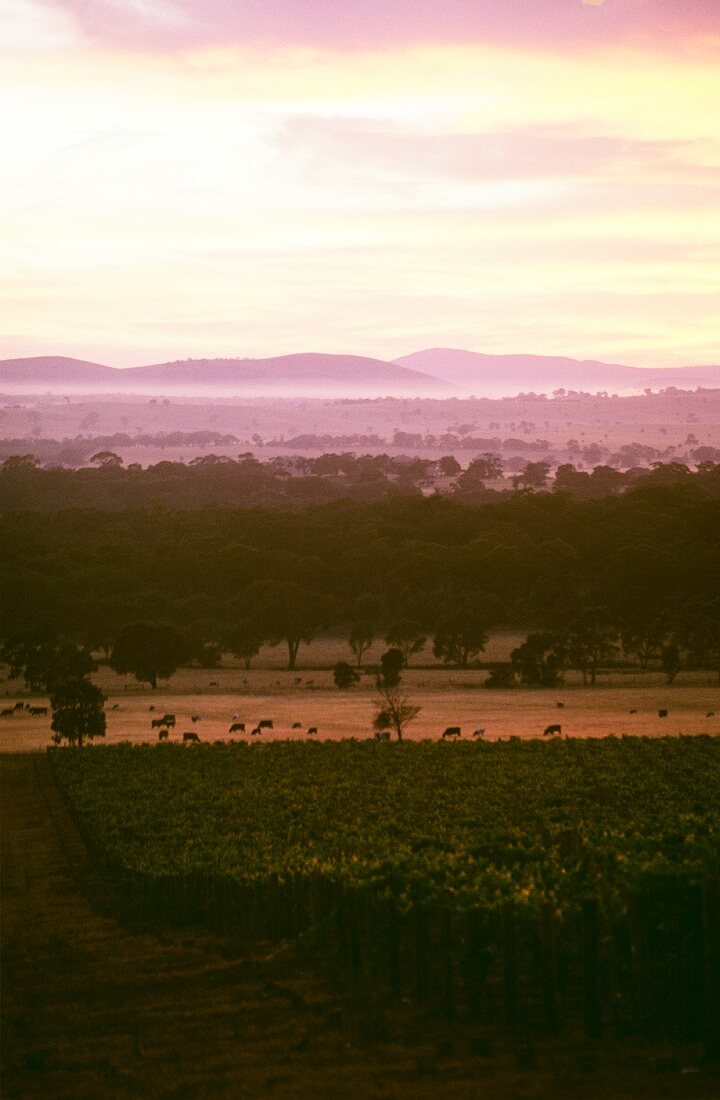 Sunrise above Seppelt vineyards, Victoria