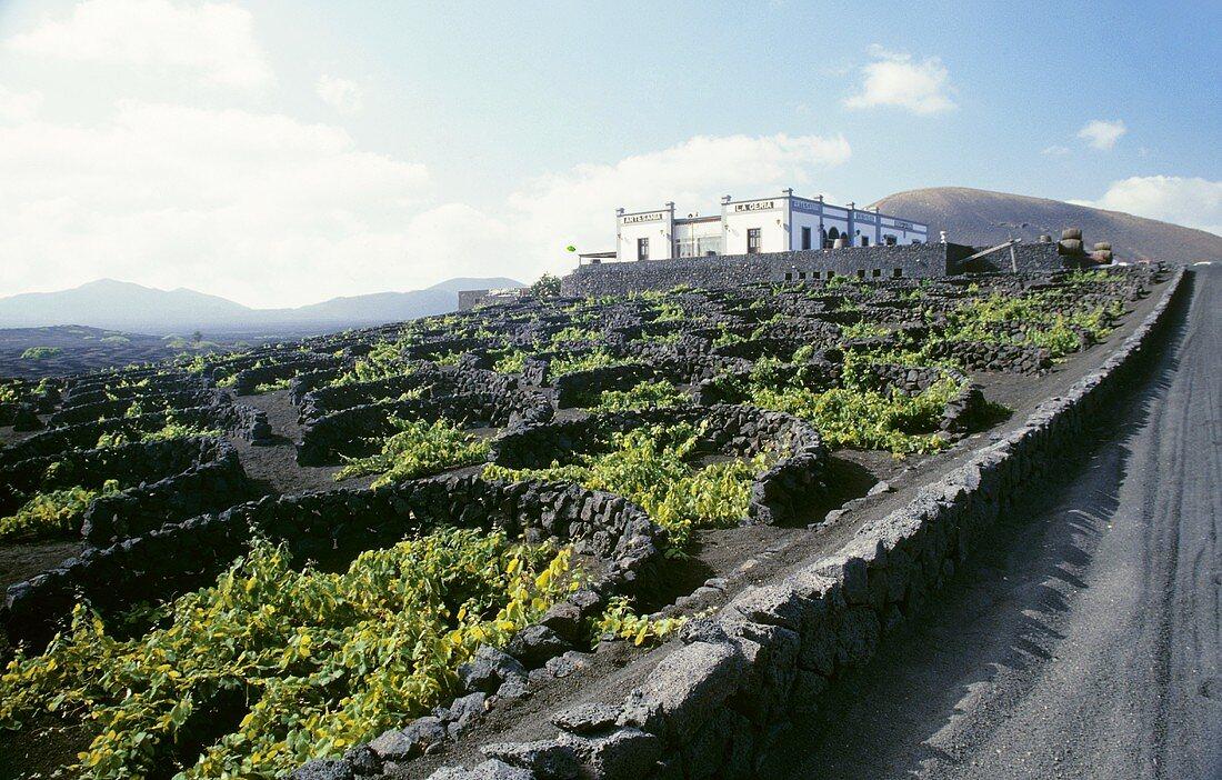 Viticulture on fertile volcanic soil, La Geria, Lanzarote