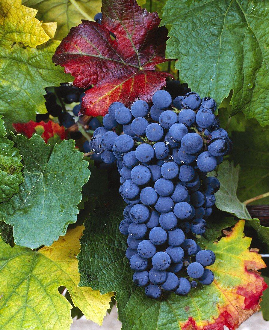 Weintrauben der Sorte Petit Verdot, Abadia Retuerta, Spanien