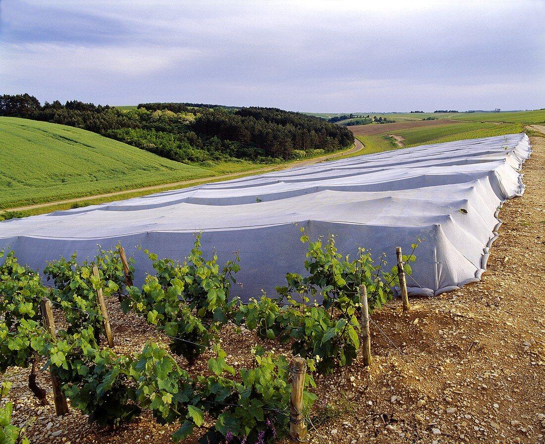 Abdeckung der Rebstöcke zum Schutz vor Frost,Chablis, Burgund