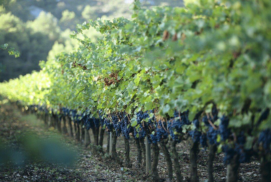 Vineyard, Domaine Hauvette, les Baux-de-Provence, Rhone