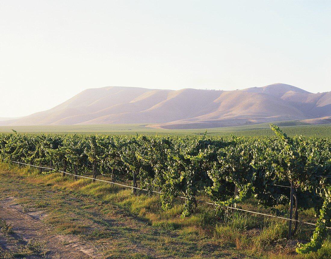 Bien Nacido Vineyard, Au Bon Climat, Santa Maria Valley, USA