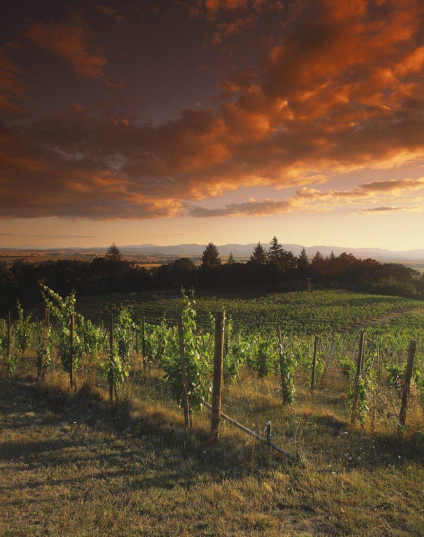 Weinberg von Amity unter dramatischem Himmel, Oregon, USA
