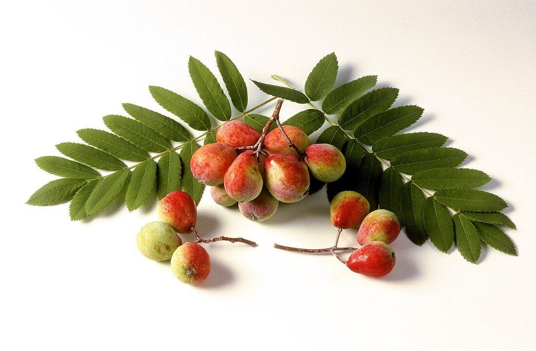 Speierling (Sorbus domestica), Früchte & -blätter