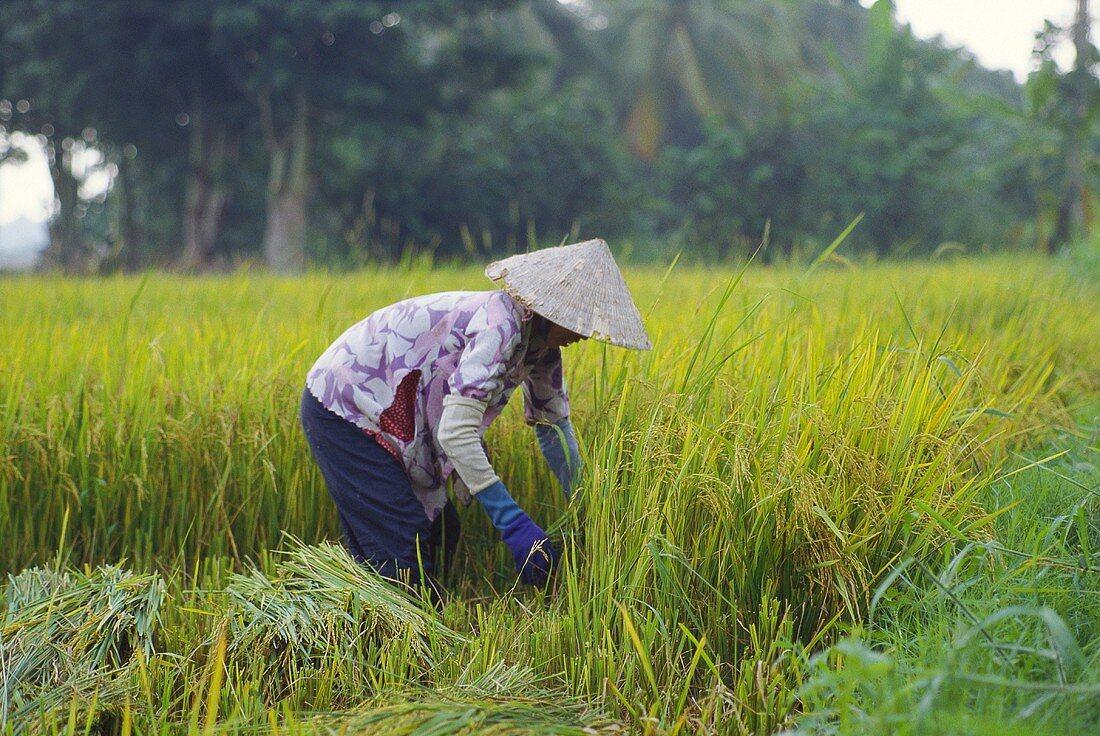 Vietnamese woman harvesting rice