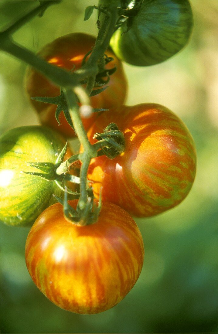 Red striped tomatoes, variety Red Zebra, on the vine