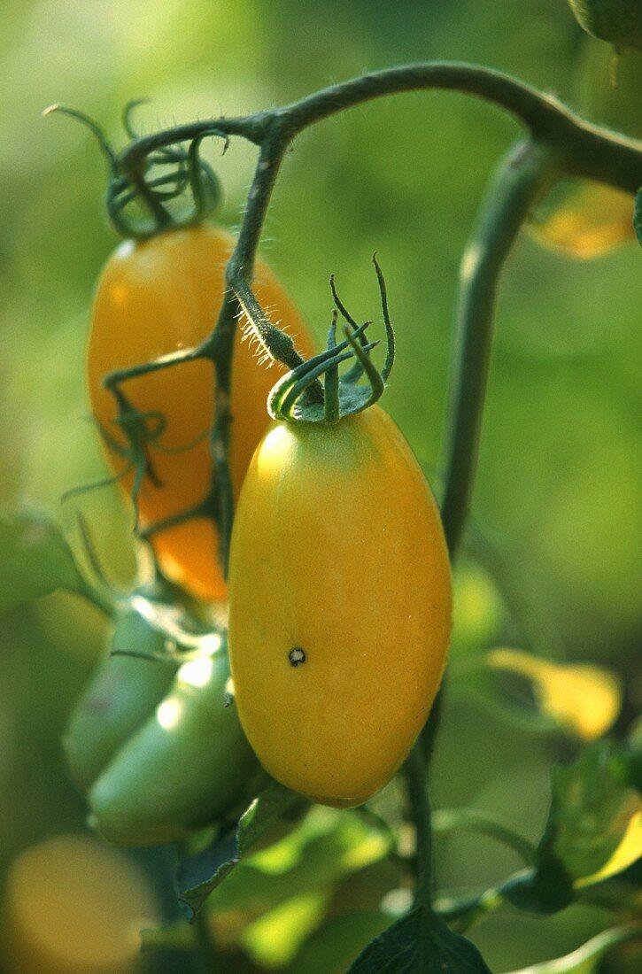 Yellow Banana Legs tomatoes on the vine