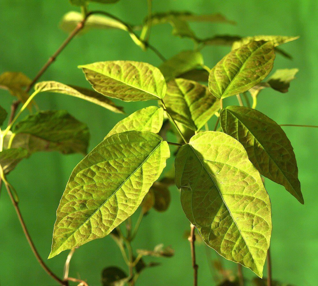 Uña de gato (Uncaria tomentosa; cat's claw), leaves
