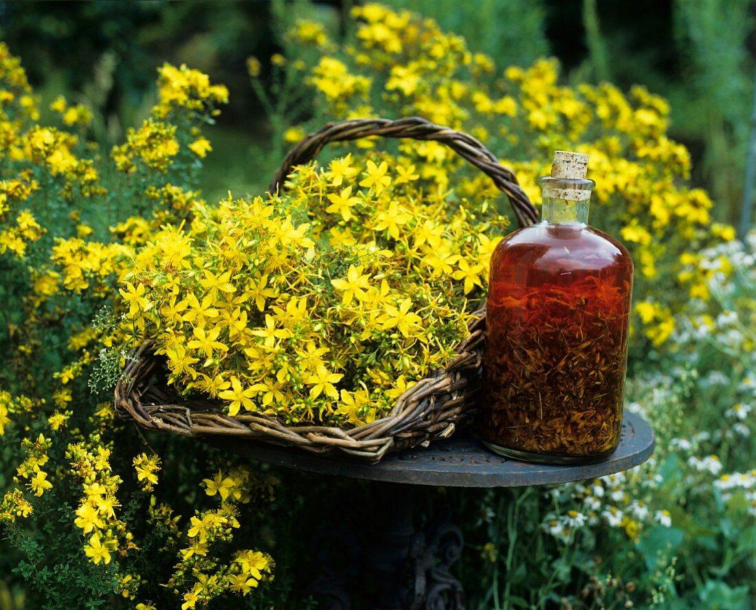 Home-made St. John's wort oil and flowering St. John's wort
