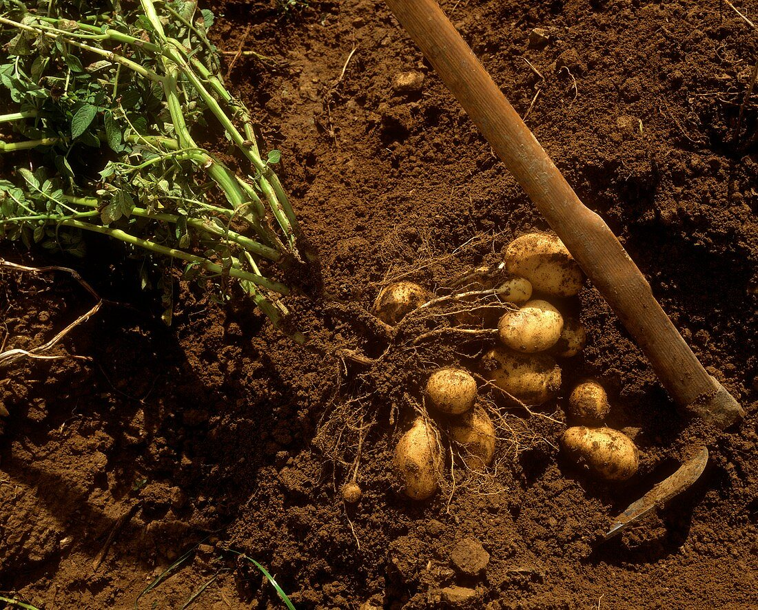 Potato harvest (potatoes with plant and fork)