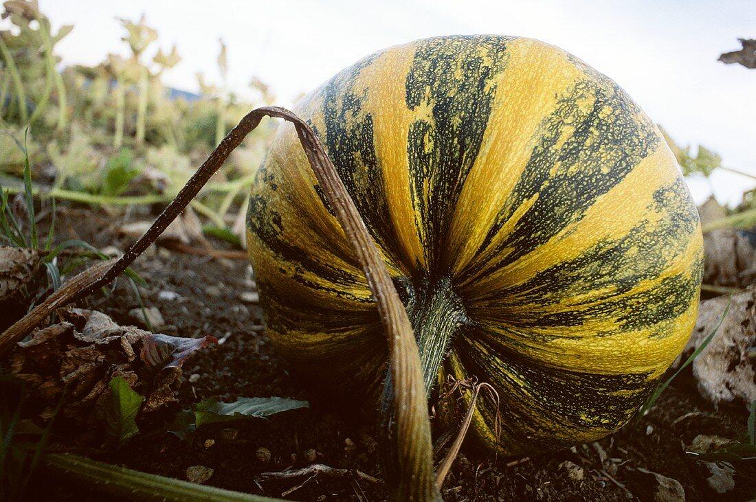 Styrian oilseed pumpkin in the field