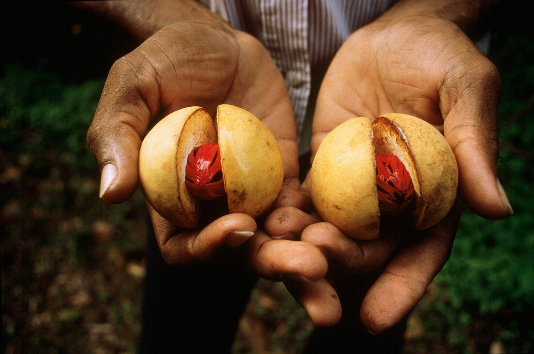 Hands holding two opened nutmeg fruits (with nutmegs)