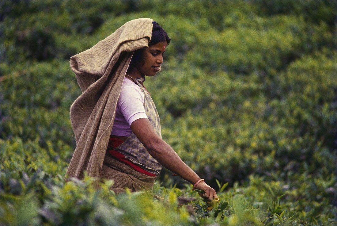 Woman picking tea (India)