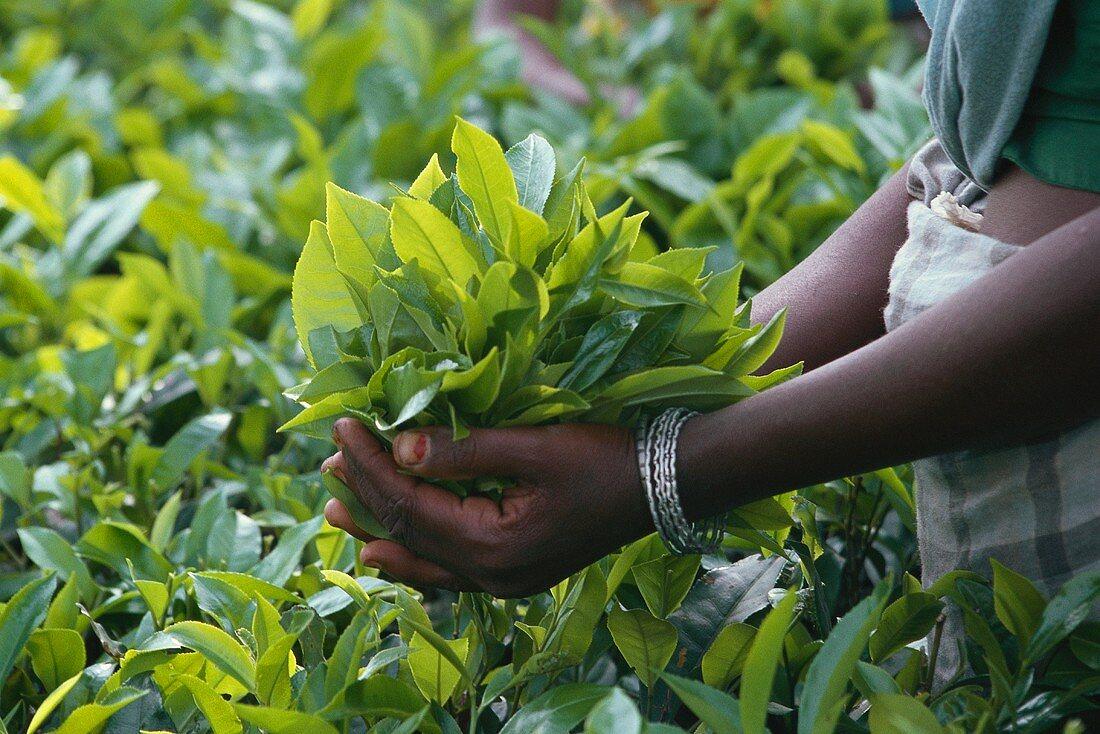 Tea-growing: hands holding freshly picked tea leaves (India)