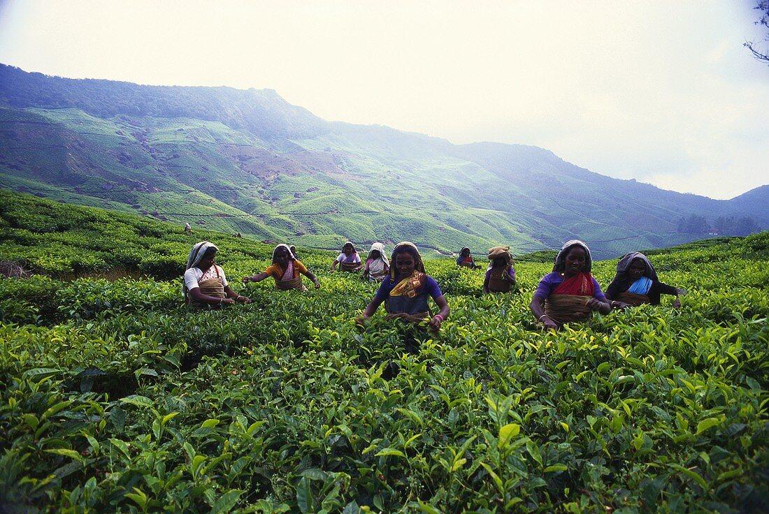 Women picking tea (Munnar, Kerala State, India)