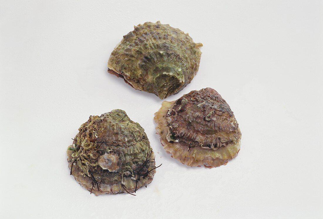 Three 'Belon' oysters