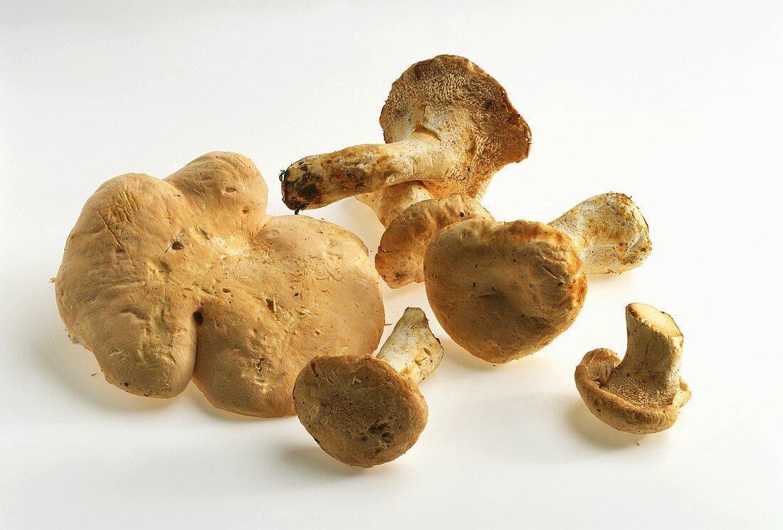 Wood hedgehog mushroom (Pied de mouton)