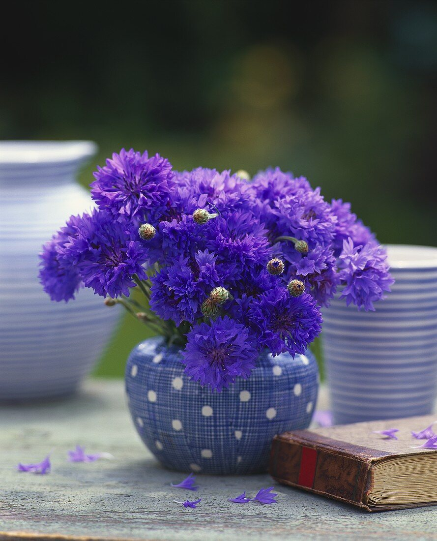 Bunch of cornflowers in spotted vase