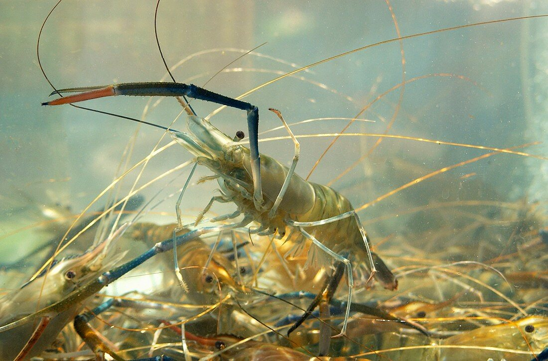 Several giant river prawns in tank of water