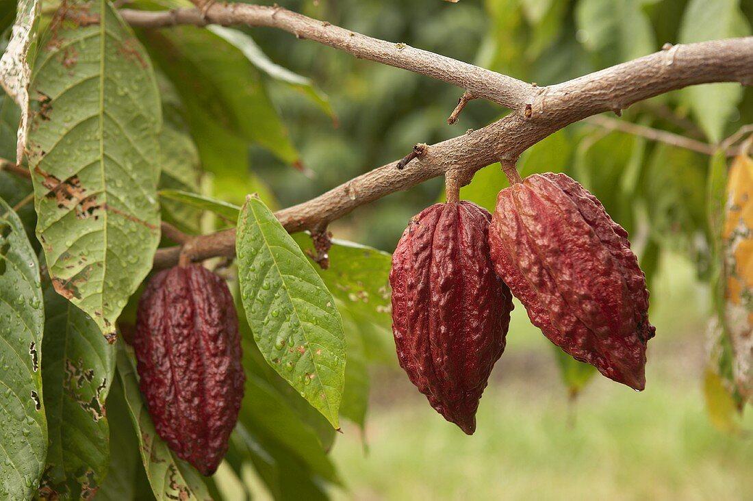 Cocoa beans on the bush