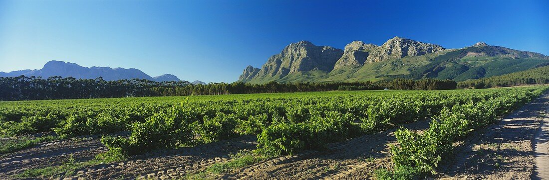 Paarl, famous wine region, view of Simonsberg, S. Africa